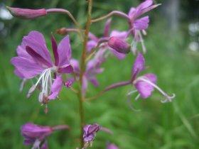 Wald-Weidenröschen, links eine männliche Blüte, rechts eine weibliche Blüte