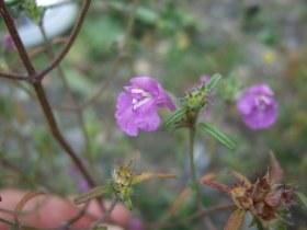 galeopsis_angustifolia_280.jpg