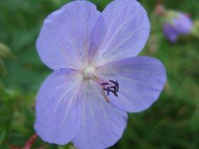 Frisch aufgeblühte Blüten des Wiesen-Storchschnabels mit reifen männlichen Staubbeuteln, aber funktionsunfähigem weiblichen Stempel