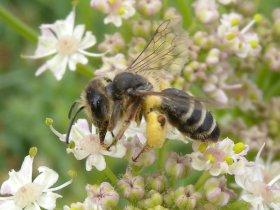 Furchenbiene, unbestimmt (Halictus sp.)
