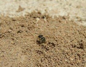 Schmalbiene (Lasioglossum) verlässt das Erdnest.
