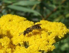Schmalbiene, eine Wildbiene, auf pollenreichem Blütenstand