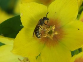 Furchenbiene, unbestimmt (Lasioglossum sp.)