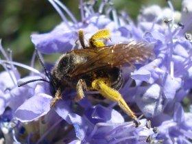 Schenkelbiene (Macropis sp.)