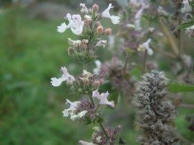 Katzenminze Nepeta cataria, ein Lippenblütengewächs