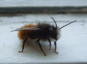 Männchen der Gehörnten Mauerbiene, die auch gerne vorhandene Hohlräume besiedelt.