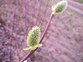 Weibliche Blüten der Salweide Salix caprea