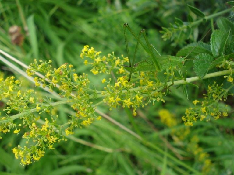 tettigonia_viridissima.JPG