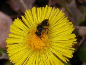 Huflattich Tussilago farfara mit Wildbiene, ein Korbblütengewächs
