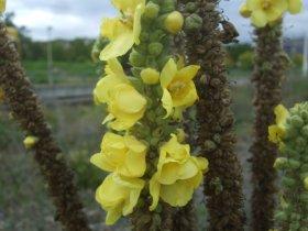 Großblütige Königskerze, die feinen Haare auf den Blättern werden gerne von Wollbienen zum Nestbau verwendet.