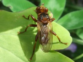 Dickkopffliegen (Conopidae) ...