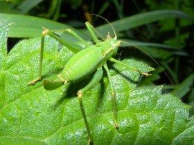 Punktierte Zartschrecke (Leptophyes punctatissima) - Weibchen