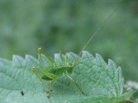 Punktierte Zartschrecke (Leptophyes punctatissima) - Larve