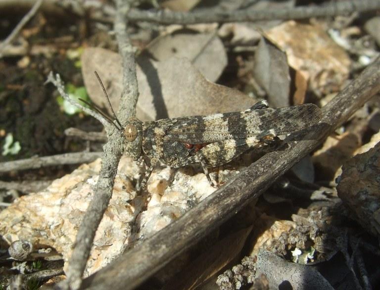 oedipoda_caeruslescens1.jpg