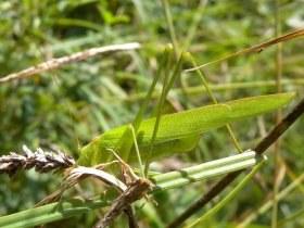 phaneroptera_falcata2_280.jpg