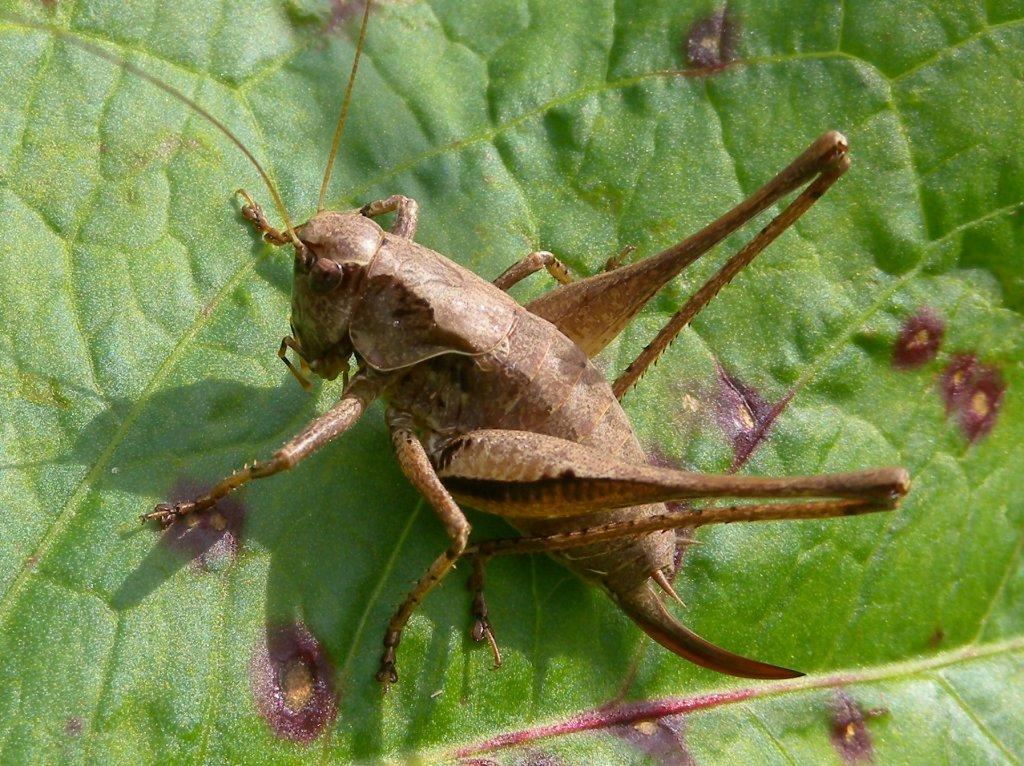 pholidoptera_griseoaptera13_1024.jpg