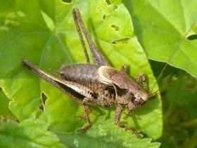 pholidoptera_griseoaptera2_280.jpg