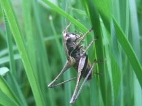 pholidoptera_griseoaptera_280.jpg