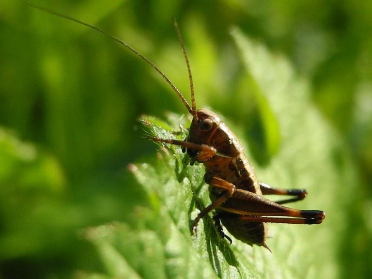 pholidoptera_griseoaptera_larve_1024.jpg