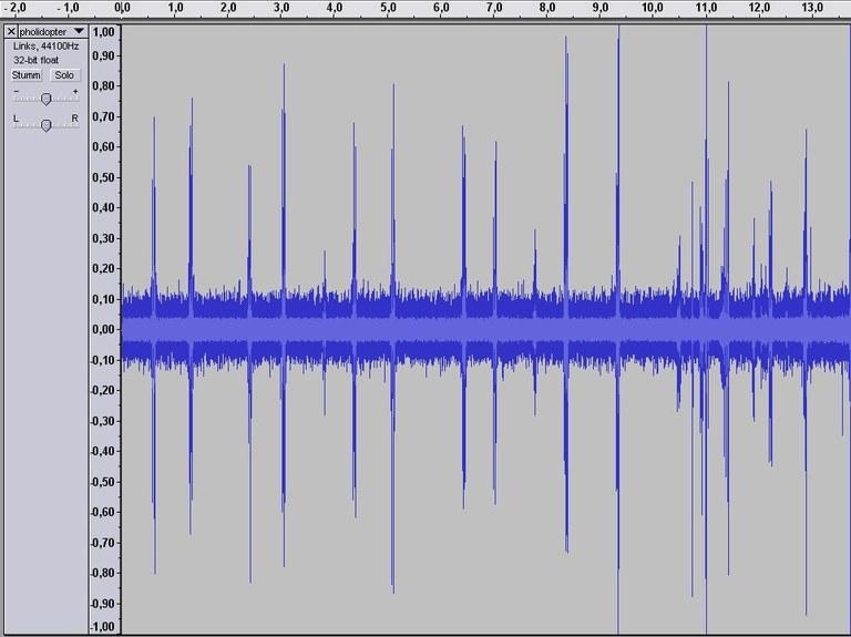 pholidoptera_griseoaptera_sound.jpg