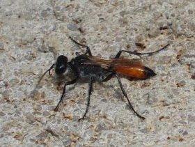 ... und die Heuschreckensandwespe sind Parasitoide an Heuschrecken.