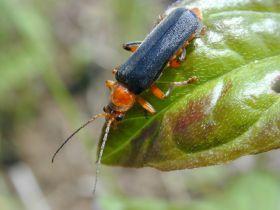 Ein Vertreter der Familie der Weichkäfer (Cantharidae)