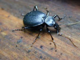 Ein Vertreter der Familie der Laufkäfer (Carabidae)