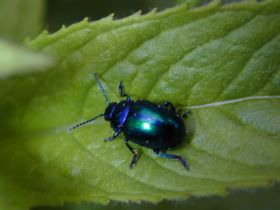 Ein Vertreter der Familie der Blattkäfer (Chrysomeliden)