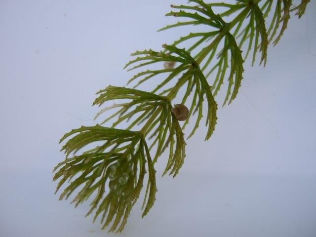 ceratophyllum2_640.jpg