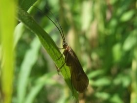 trichoptera_adult_280.jpg