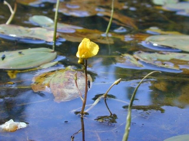 utricularia_vulgaris1.jpg