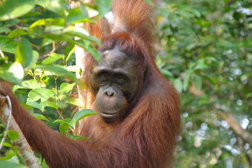 Orang Utan im Urwald von Indonesien